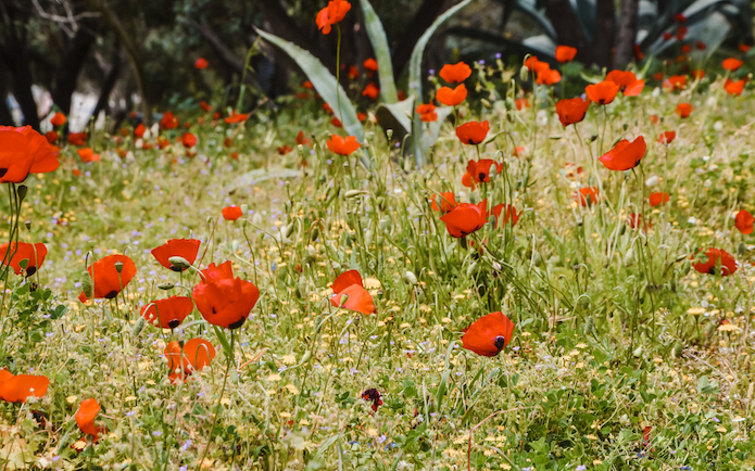Poppies at the Acropolis